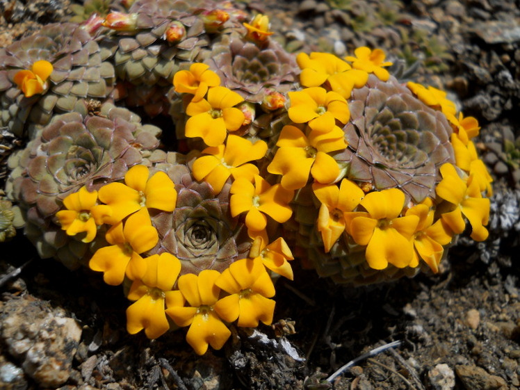 Violas en flor, Huanquihue Group