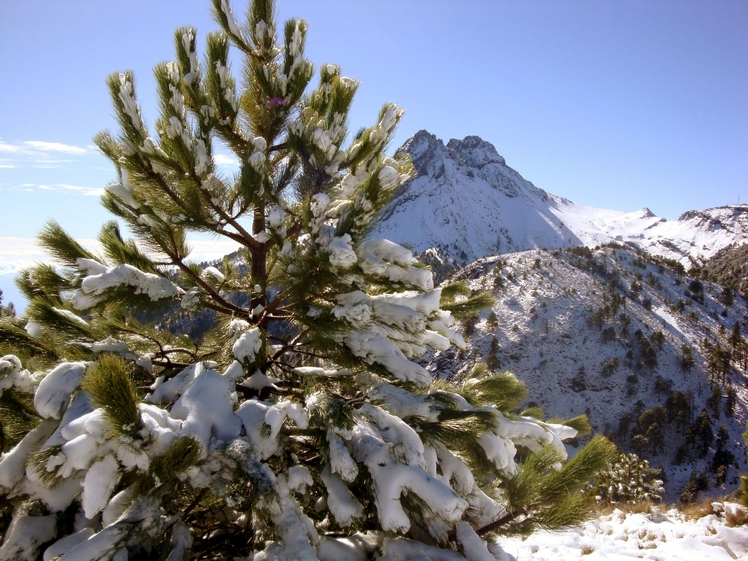 Snowy pines, Nevado de Colima