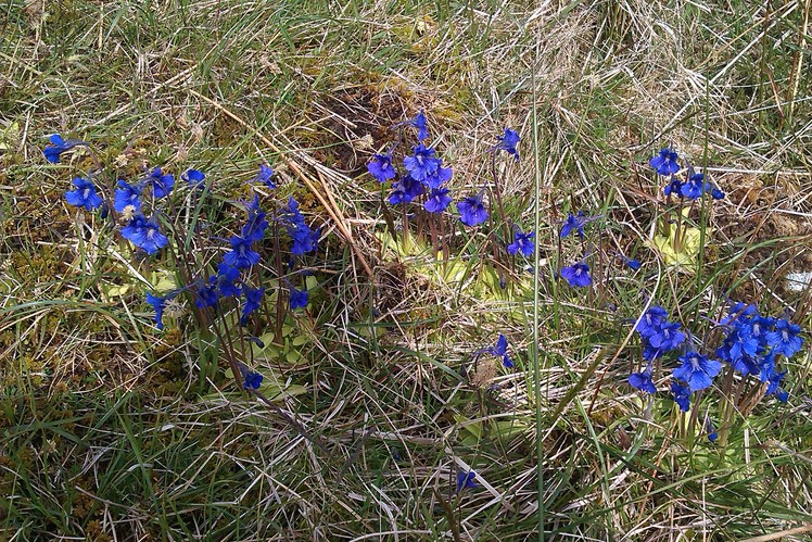 Spring Gentian on Musheramore