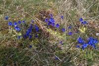 Spring Gentian on Musheramore photo