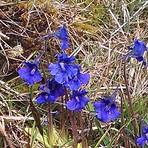 Spring Gentian on Musheramore