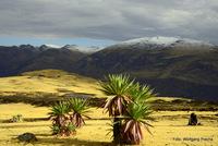 endemic lobelia, Ras Dashen photo