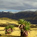 endemic lobelia, Ras Dashen