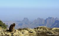 gelada monkey at the escarpment, Ras Dashen photo