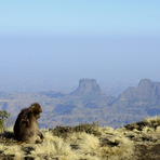 gelada monkey at the escarpment, Ras Dashen