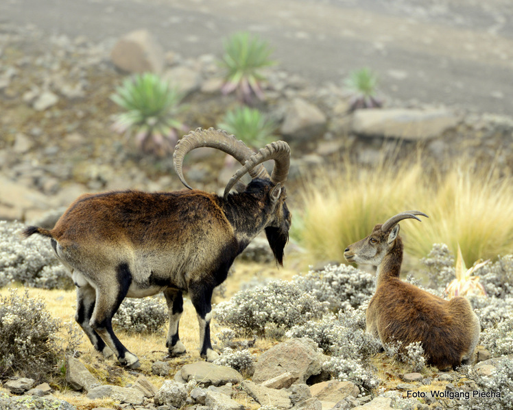 walia ibex close to the peak (at 4.100m), Ras Dashen