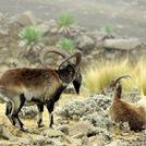 walia ibex close to the peak (at 4.100m)