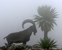 walia ibex in the clouds close to the peak (at 4.100m), Ras Dashen photo