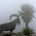 walia ibex in the clouds close to the peak (at 4.100m), Ras Dashen