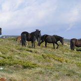 Wild horses on Trem, Trem - Suva planina