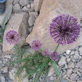 naser ramezani flower in shrkouh, شيركوه