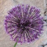 naser ramezani flower in shrkouh, Shir Kuh or Shir Kooh