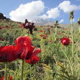 Plain anemones, Damavand