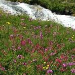 Flowers-2-Yaylalar Valley, Kaçkar Dağı or Kackar-Dagi