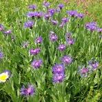 Flowers-4-Yaylalar Valley, Kaçkar Dağı or Kackar-Dagi