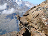 Ibex, Lagginhorn photo