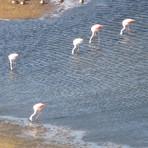 flamencos en la laguna, Laguna Del Maule