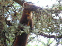 Pine Marten- summit area of Owl's Head, Owl's Head (Franconia, New Hampshire) photo