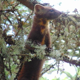 Pine Marten- summit area of Owl's Head, Owl's Head (Franconia, New Hampshire)