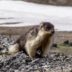endemic Kamchatka marmot, Tolbachik