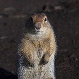 ground squirrel, Tolbachik