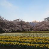 Kaikoma over Sakura trees, Kai-Komagatake