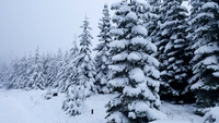 Snowy trees, Marys Peak photo