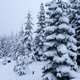 Snowy trees, Marys Peak
