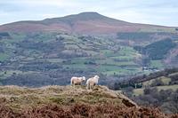Sugar Loaf and Sheep, Sugar Loaf Mountain (Wales) photo