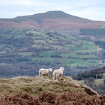 Sugar Loaf and Sheep, Sugar Loaf Mountain (Wales)