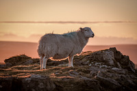 Welsh sheep, The Blorenge photo