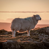 Welsh sheep, The Blorenge