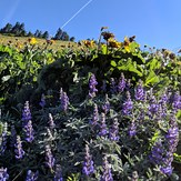 Lupines on the summit approach, Dog Mountain