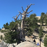 1500 year old tree, Mount Baden-Powell