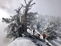 1500 year old tree, Mount Baden-Powell photo