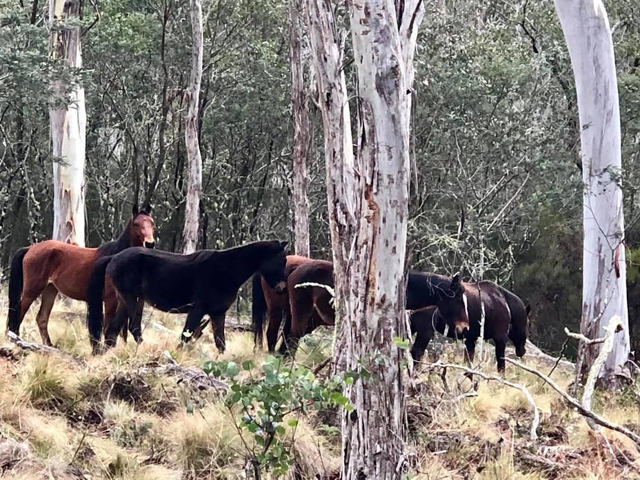 Barrington Wild Horses, Barrington Tops