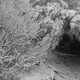 Beautiful white trees, Dog Mountain