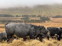 Cattle grazing above Neuadd Reservoir, Fan y Big photo