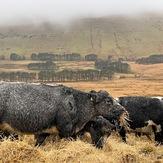Cattle grazing above Neuadd Reservoir, Fan y Big