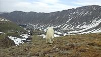 Mountain Goat on Grays Peak photo