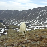 Mountain Goat on Grays Peak