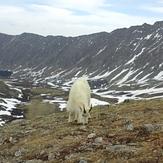 Mountain Goat on Grays Peak
