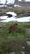 Marmot on Grays Peak photo