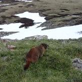 Marmot on Grays Peak