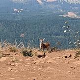 Deer enjoying the summit, Dog Mountain