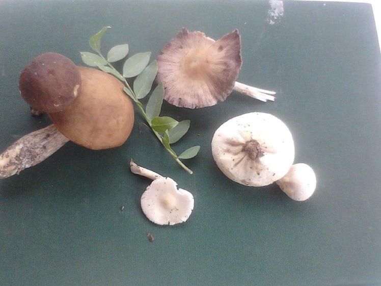 wild mushrooms of Paiko