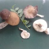 wild mushrooms of Paiko