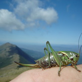 Grasshopper, Trem - Suva planina